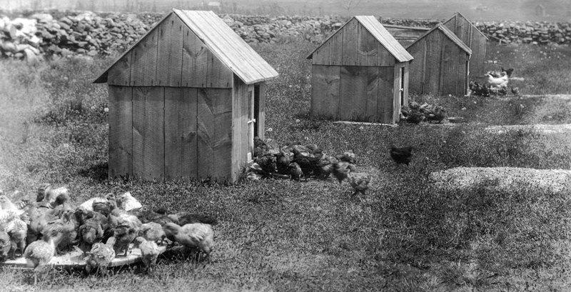 Rhode Island Red Chickens&lt;br /&gt;<br />