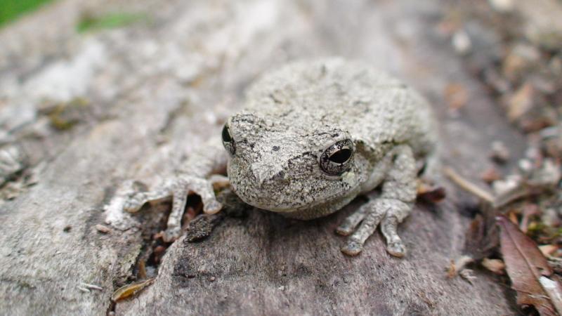 Gray Tree Frog&lt;br /&gt;<br />